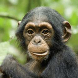 Décryptage du système de communication chez les chimpanzés [Etude] 3