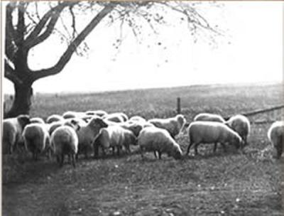 Photo of sheep.