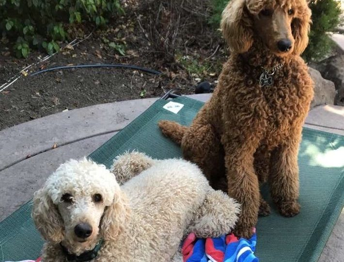 Two Dogs Are Better Than One – The Long Poodle Story