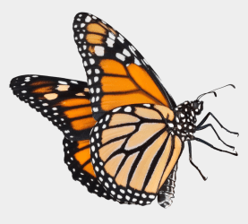 Butterfly Clipart No Background Real Butterfly Transparent Background Cliparts & Cartoons Jing fm
