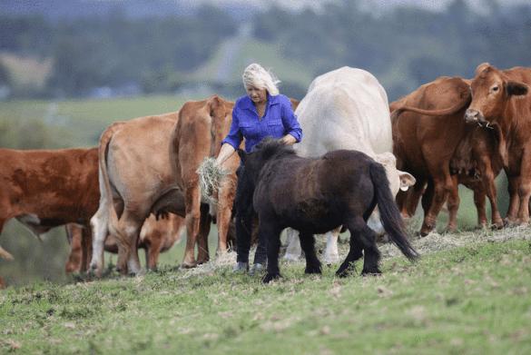 628-18 วัวชน 2