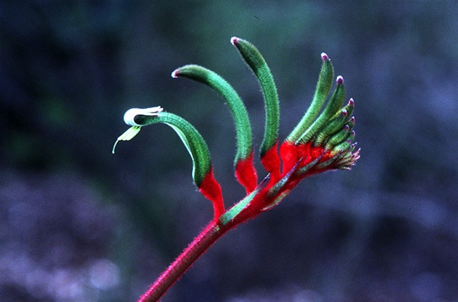 Red and Green Kangaroo Paw : ภาพจาก Murdoch.edu.au