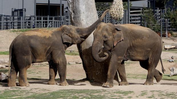 พลายปาฏิหาริย์กับพลายลูกชายกำลังเล่นกันตามภาษาเด็กที่ Western Plains Zoo (ภาพจากนสพ. The SMH)