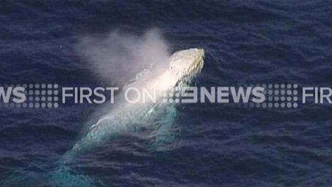 วาฬเผือกที่สงสัยว่าจะเป็น Migaloo หรืออาจเป็นลูกชายของมัน ภาพจากข่าว 9 News ทางทีวี 9