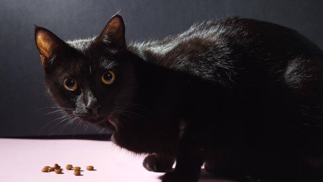แมว Jiji แมววัย 7 ปีจำต้องผ่าตัดแปลงเพศเพื่อช่วยชีวิตของมัน : ภาพชั่วคราวจากนสพ. NT News