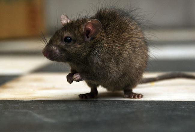 หนูหนึ่งในสัตว์ที่หลายคนเกลียดและกลัว : ภาพจาก express.co.uk