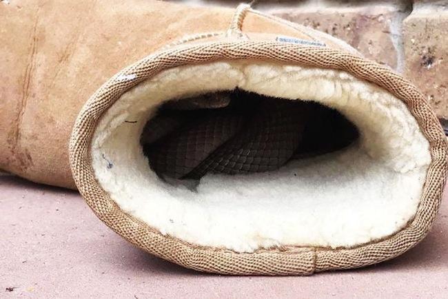 งูพิษสีน้ำตาลตะวันออกเข้าไปหาความอบอุ่นอยู่ในรองเท้าเอิ๊กบูท : ภาพจากสำนักข่าว ABC ต้นฉบับจากเฟสบุ๊ค Snake Catchers Adelaide