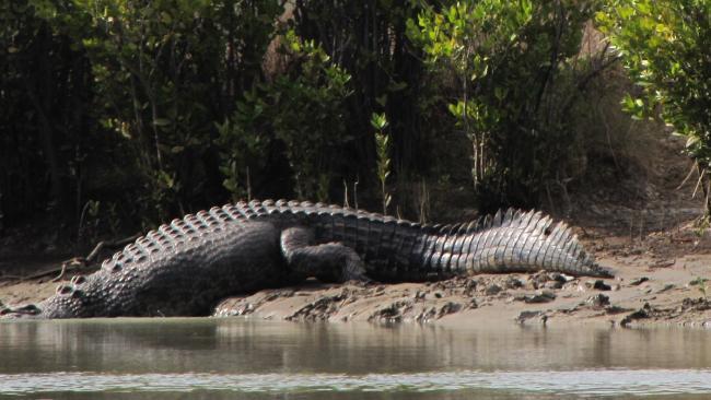 จระเข้ยักษ์แห่งแม่น้ำ Roper River ขณะกลับลงน้ำหลังจากพบว่าถูกรบกวนจากมนุษย์ : ภาพชั่วคราวจากนสพ. The NT News