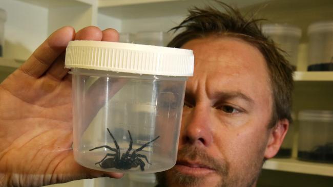นายTim Faulkner แห่ง Australian Reptile Park กับแมงมุมตัวที่กัดด.ช. Matthew  Mitchell  : ภาพจากนสพ. Central Coast Gosford Express Advocate