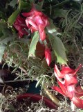 christmas cactus fifth flowering in one year