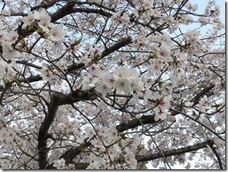JT-sakuranotoorinuke-2018-0328 (1)