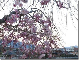 nagaokatenmanguu-sakura-raitoappu (9)