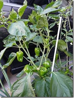 natuyasai-tomato-pi-man-manganjitougarasi-2020-06-23 06.21.03 (2)