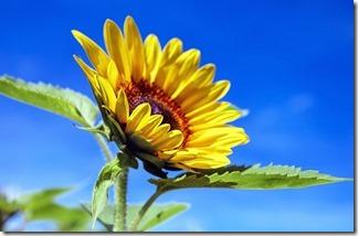 sun-flower-summer