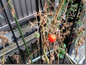 tomato-2018-09-09 (1)