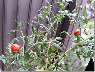 tomato-2018-09-09 (2)