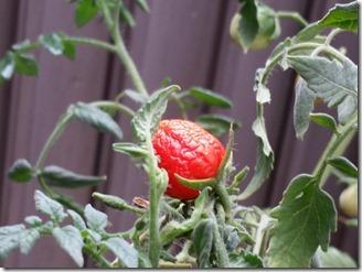 tomato-2018-09-09 (3)