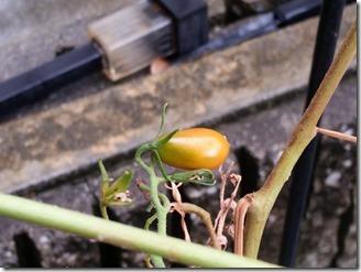 tomato-2018-09-09 (5)