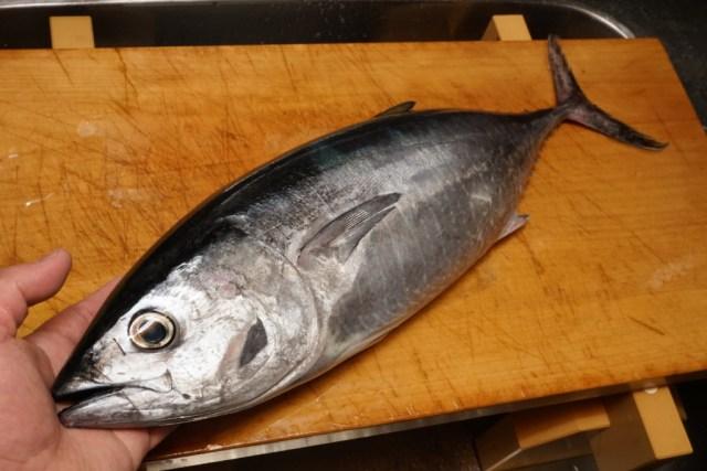 クロマグロの幼魚ヨコワ、メジ