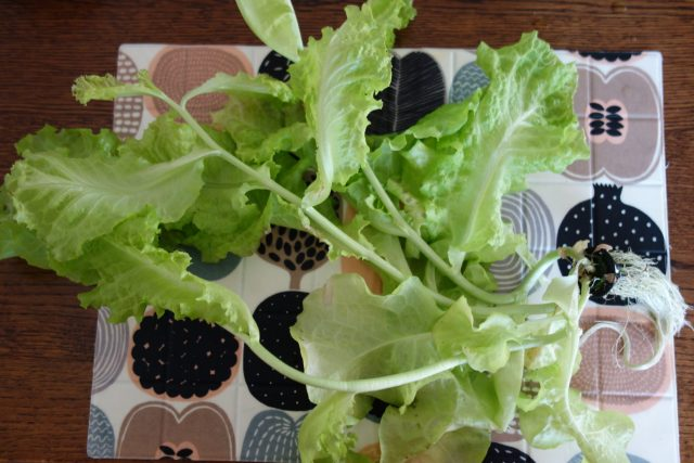 fail to grow lettuce in hydroponics system