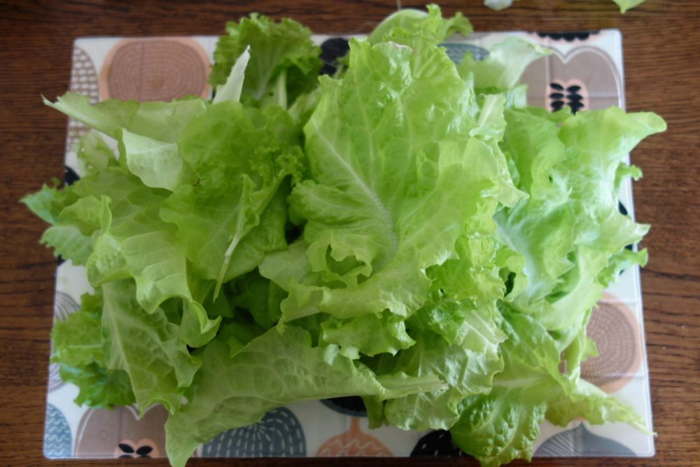 lettuce after harvesting from thick stalk