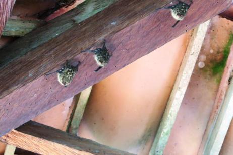 Schlafende Fledermäuse