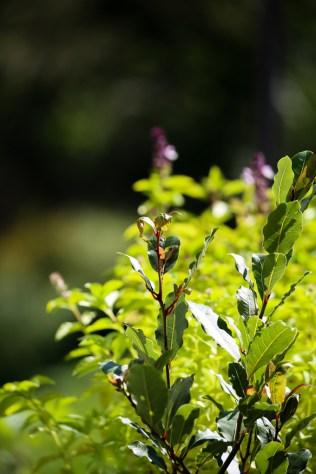 bay-leaf-cinnamon-basil-plant-1