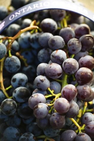 concord-grapes-4