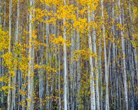Young Aspen Grove - RIo Grande National Forest, CO © jj raia