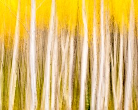 Aspen Blur — White River National Forest, CO © jj raia