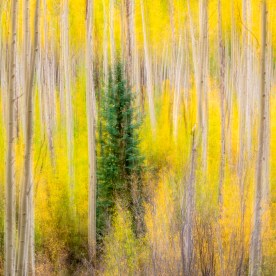 Aspen Hillside and Fir - White River National Forest, CO © jj raia