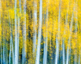 Aspen Hillside Blur - Uncompahgre National Forest, CO © jj raia