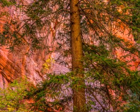 Ponderosa Pine - Kanarra Creek Canyon, UT © jj raia