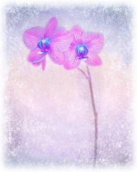 Orchid Variation Feathered Edge © jj raia