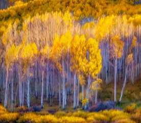 Aspen Hillside -— Afternoon Light - Dixie National Forest, UT © jj raia