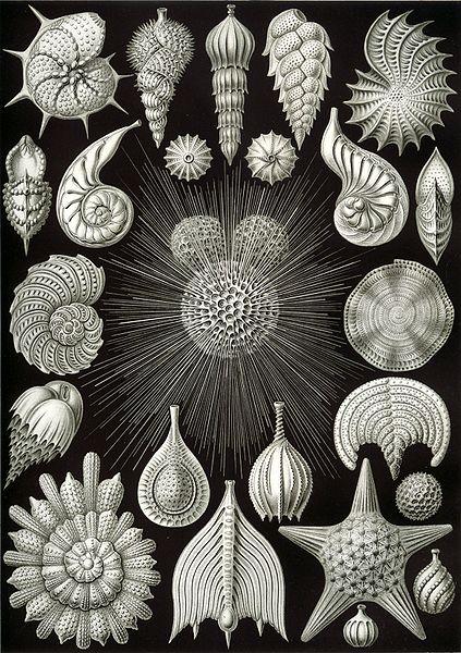 有孔蟲類 - 于萱的生物筆記