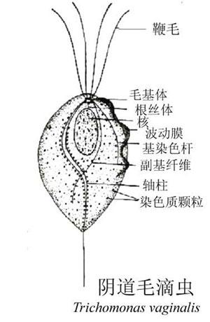 滴蟲類 - 于萱的生物筆記