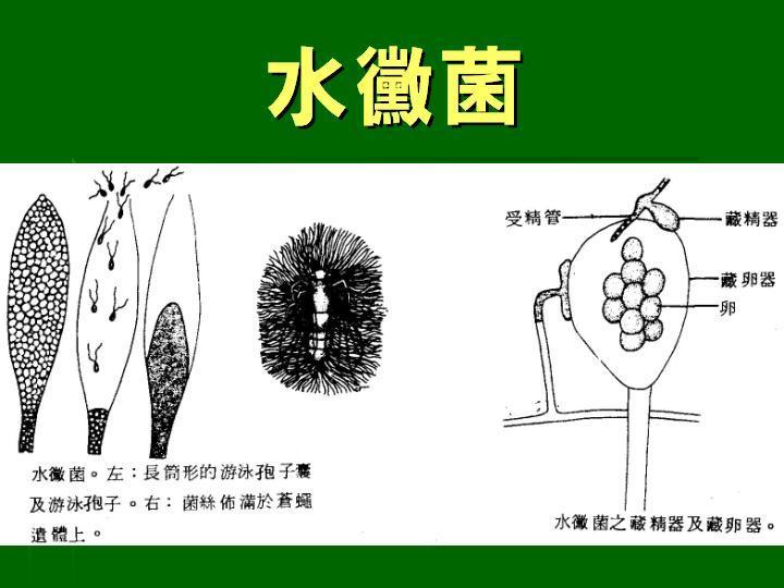 水黴菌 - 于萱的生物筆記