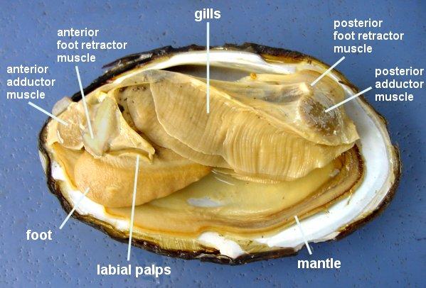 diagram of a clam