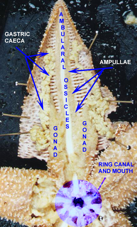 Starfish Labelled Diagram : starfish, labelled, diagram, Starfish, Dissection, Bahweting, Middle, School