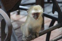Vervette Monkey