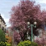 my cherry trees3