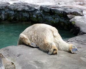 canadian polor bear