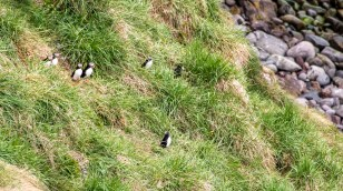 More puffins