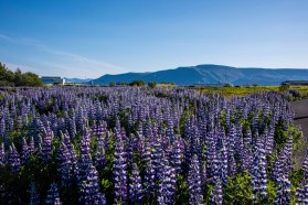 The lupine was everywhere and in full bloom