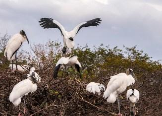 Wood Stork mating