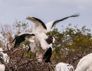 Wood Stork mating