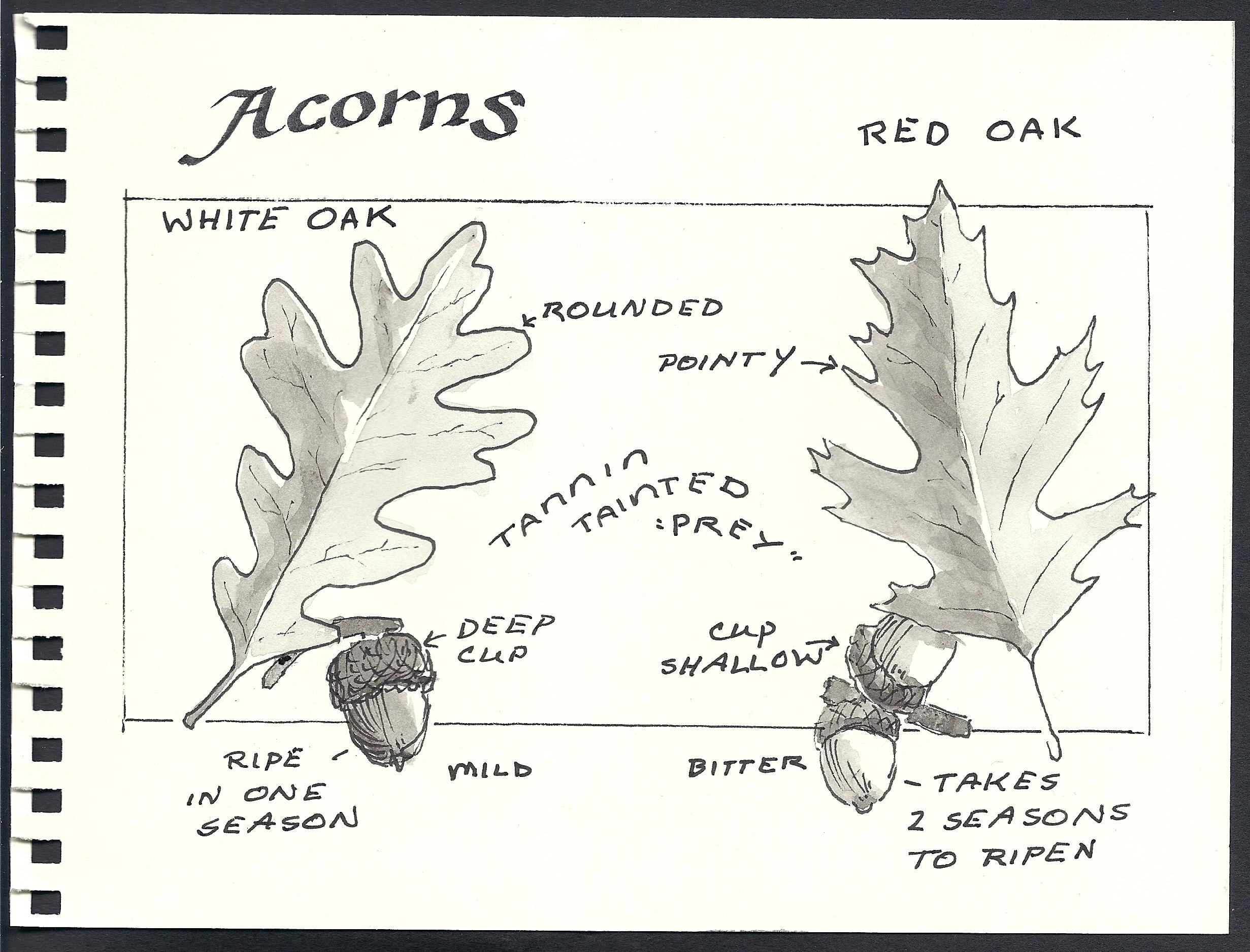 Acorn Rain