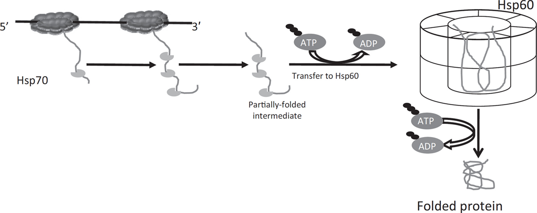 Molecular chaperones and protein‐folding catalysts as