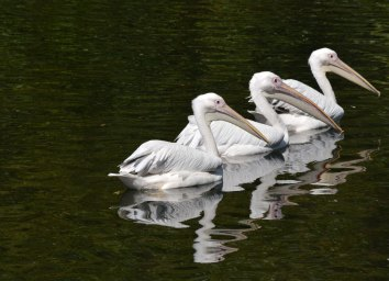 Pelicans in St James' Park.